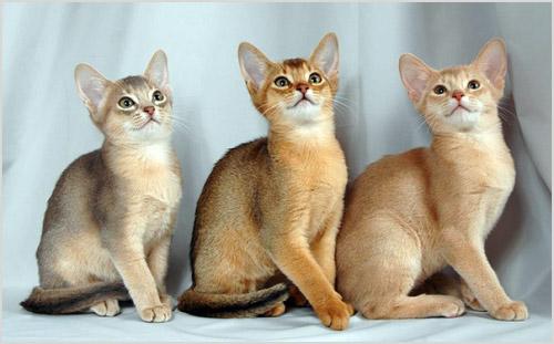 Окрасы абиссинских кошкек