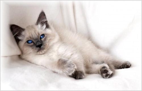 Котенок билинез