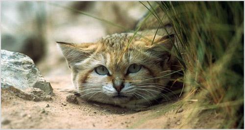 Портрет барханной кошки