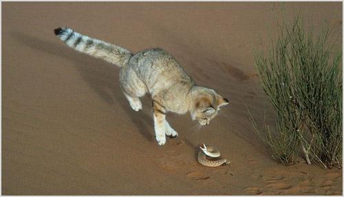 Охота барханной кошки
