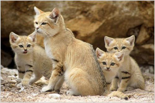 Песчаная кошка с котятами