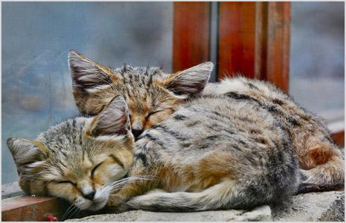 Котята песчаной кошки дома