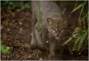 Кошка ягуарунди