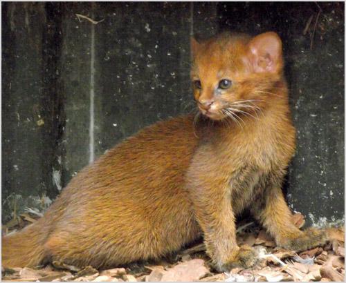 Котенок ягуарунди