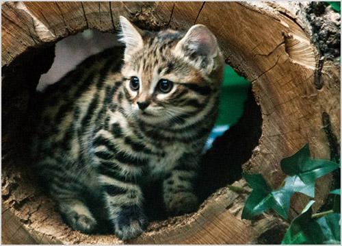 Котенок черноногой кошки прячится в дупле