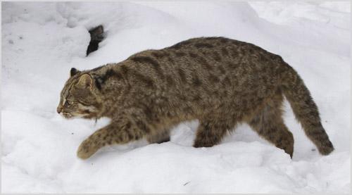 Дальневосточный лесной кот гуляет по снегу