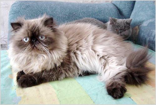Кошка с котенком гималайской породы
