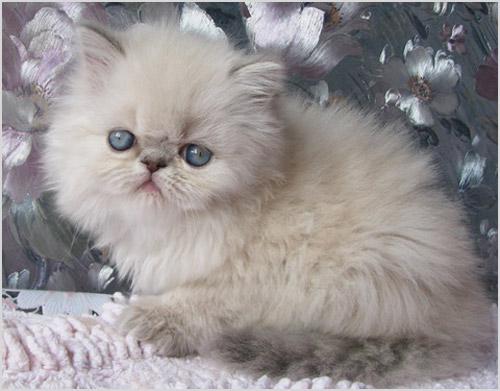 Котенок гималайской кошки