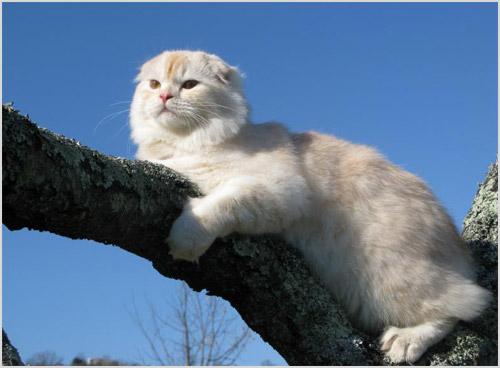 Кошка хайленд фолд сидит на дереве
