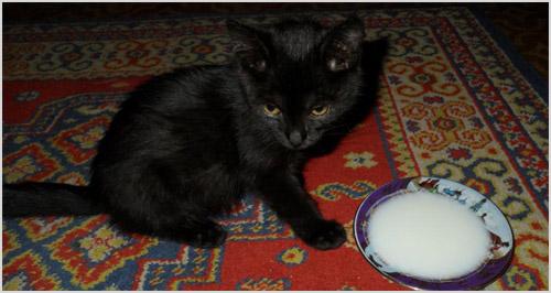 Котенок есть из миски