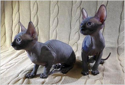 Котята лысых кошек