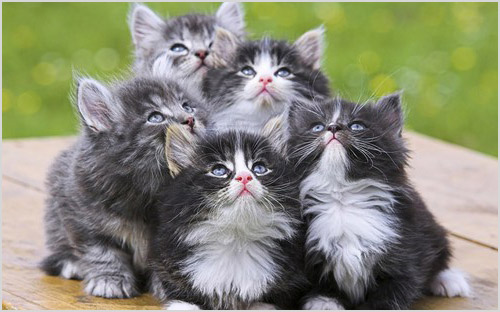 Котята рагамаффины