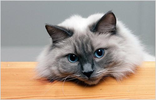 Фото кота рэгдолла
