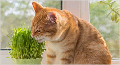 Рыжая кошка ест траву