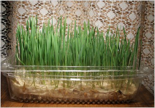 Выращивание травы для кошек
