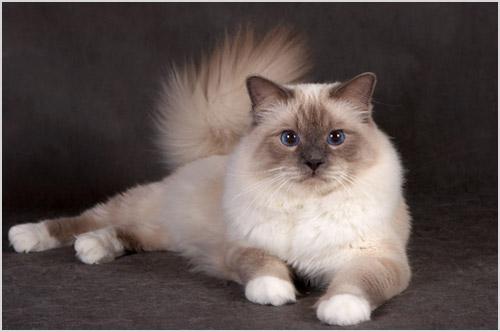 Кошка бирма