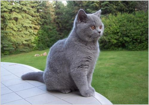 Кот британец на природе