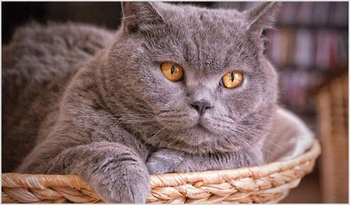 Кот британец лежит в карзине