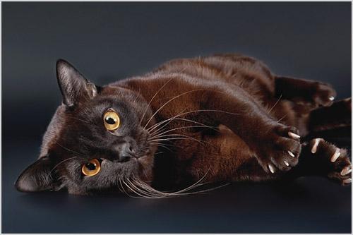 Фото кошки бурманской породы