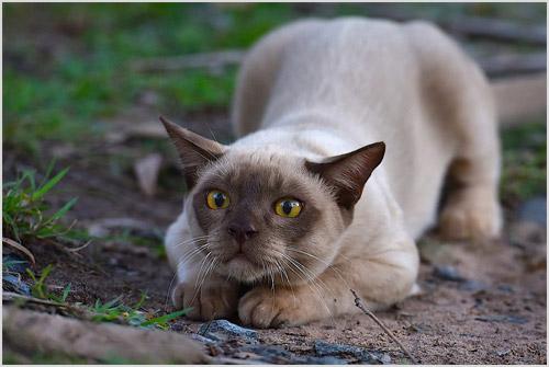 Бурманская кошка на охоте