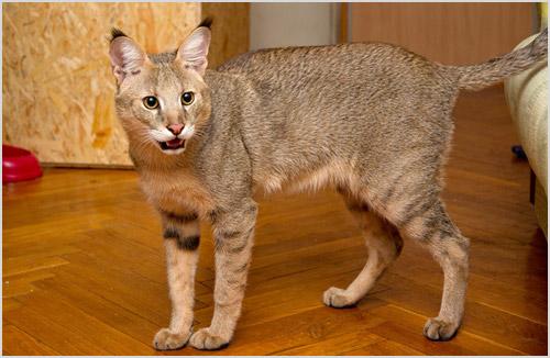 Кот чаузи