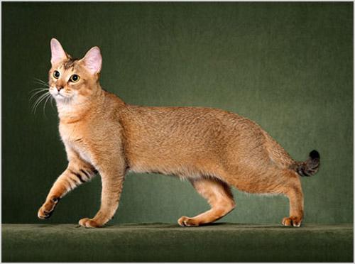 Чаузи кошка
