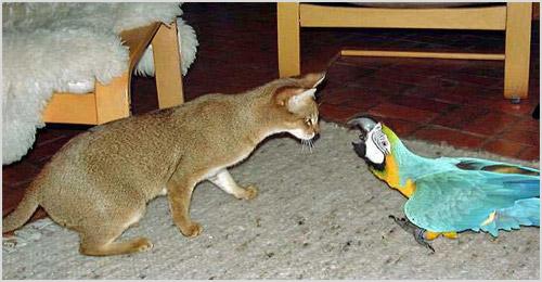 Кошка чаузи играет с попугаем