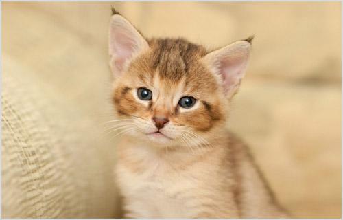 Котенок чаузи