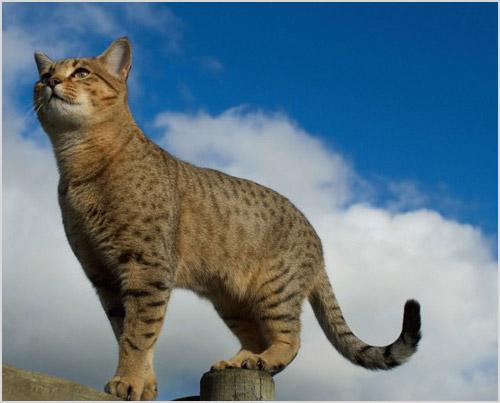 Фото кота египетского мау