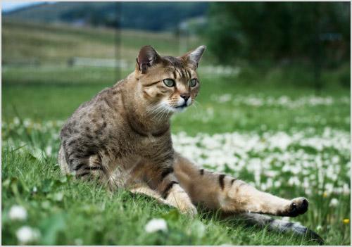Кот египетский мау на природе