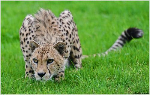 Фото гепарда
