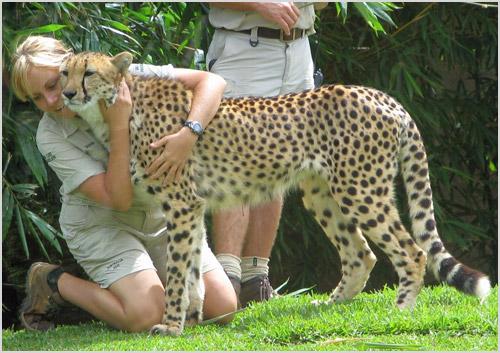 Люди обнимаются с гепардом