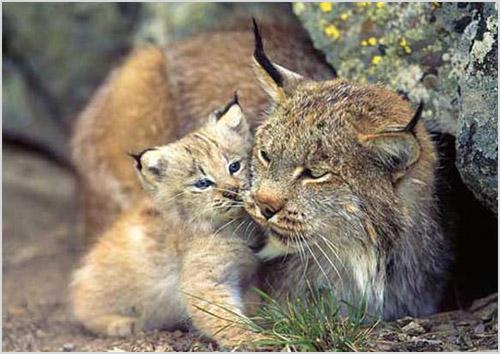Фото канадской рыси с детенышем
