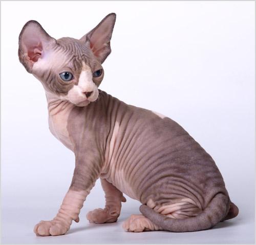 Котенок канадского сфинкса