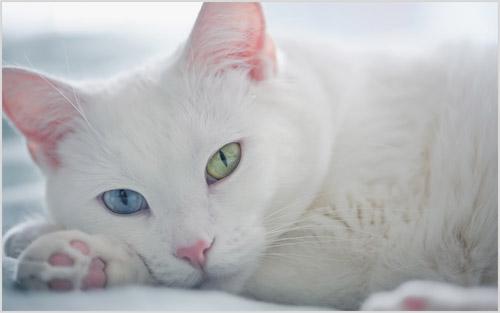 Фото кошки Као мани