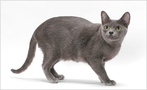 Кошка корат