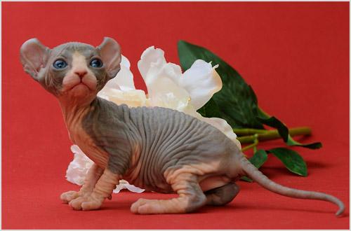 Котенок эльф
