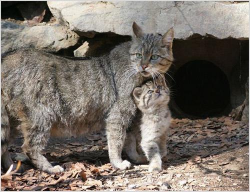Лесная кошка с детенышем
