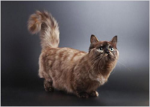 Коротколапая кошка