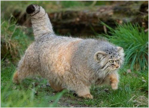 Кот манул на охоте