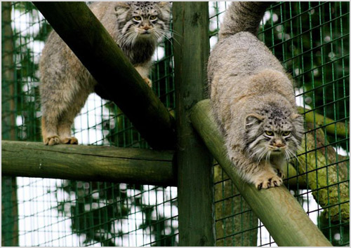 Манулы в зоопарке