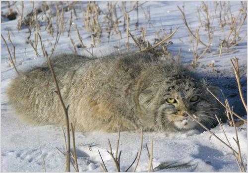 Кот манул лежит на снегу