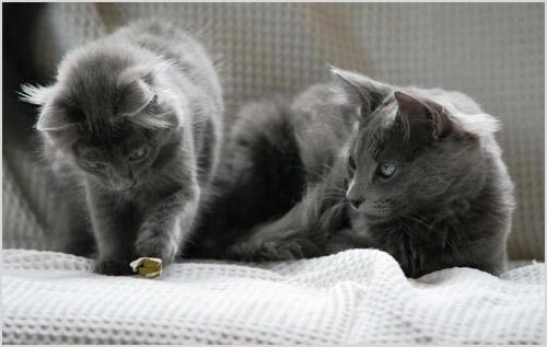 Кошка и котенок нибелунги