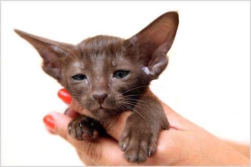Котенок ориентальной кошки