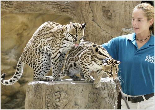 Оцелоты в зоопарке