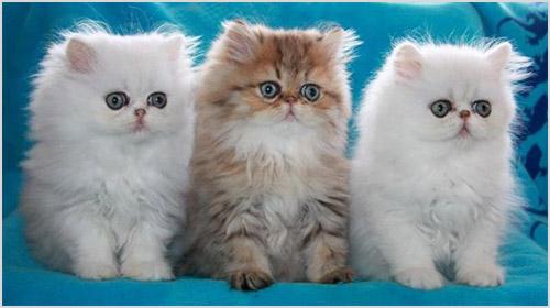 Котята персидской кошки