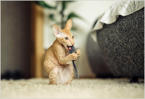 Котенок петербургского сфинкса