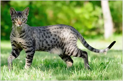 Кошка саванна на природе