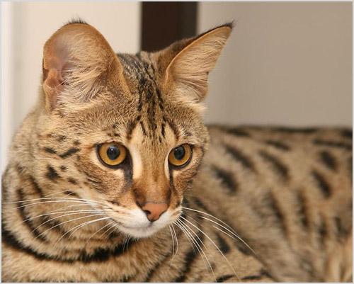 Фото кошки породы саванна