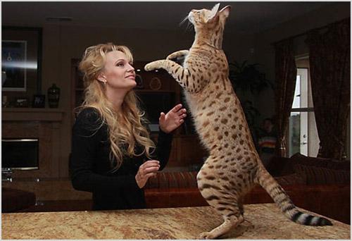 Кошка стоит на задних лапах на столе